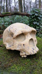 Schedel replica Homo Heidelbergensis rond 450.000 jaar oud