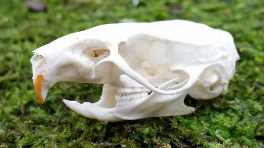 Schedel van een Rat