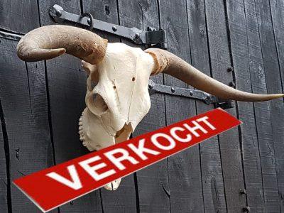 Schotse Hooglander Stierenkop schedel met grote hoorns