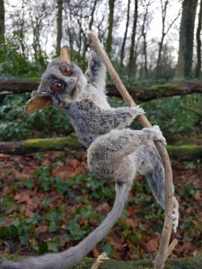 Senegal-Galago - Steppen-Galago - Ausgestopft - Tierpräparation - Taxidermy
