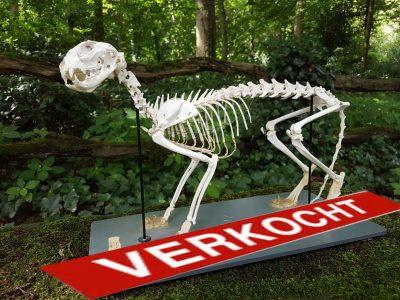 Skelet van een Huiskat - geprepareerd - opgezet - taxidermy