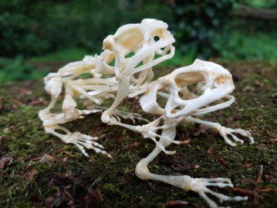 Skelett von einem Paarung, Frösche oder Kröten