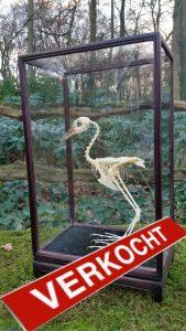 Skelet Witborstwaterhoen in Vitrine