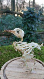 Skelet van een Aziatische Tortelduif - geprepareerd - opgezet - taxidermy