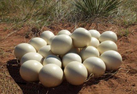 Struisvogel Eieren