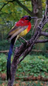 Sunbird - Honigsauger in Stolpe - Ausgestopft - Tierpräparation - präparat - Taxidermy