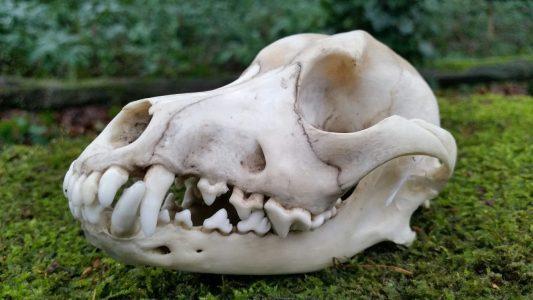 Schedel van een Hond 13 cm
