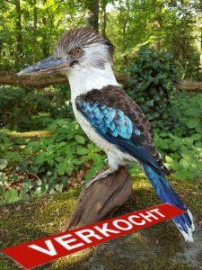 Blauwvleugelkookaburra - opgezet - taxidermy - geprepareerd
