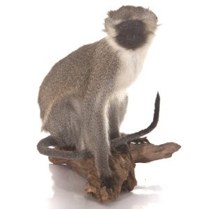 Makaak aapje - opgezet - geprepareerd - taxidermy