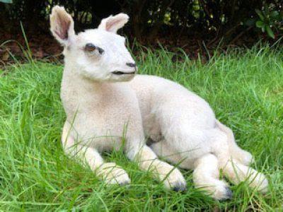 Kleines Lamm - Tierpräparation - Präparat - Taxidermy