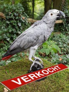 Grauer Redtail Papagei - Ausgestopft - Tierpräparation - Präparat - Taxidermy