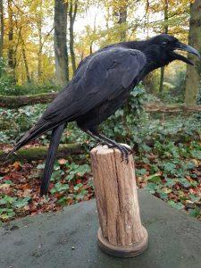 Krähe - Rabenvögel - Ausgestopft - Tierpräparation - Präparat - Taxidermy