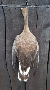 Graugans - Ausgestopft - Tierpräparation - Präparat - Taxidermy