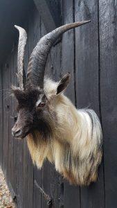 Land Ziege - Ausgestopft - Tierpräparation - Taxidermy