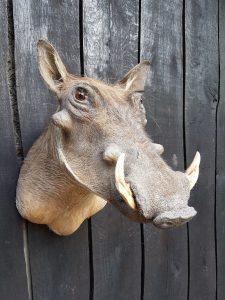 Warzenschwein - Warthog - Ausgestopft - Tierpräparation - Taxidermy
