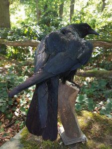 Krähe - Ausgestopft - Tierpräparation - Präparat - Taxidermy