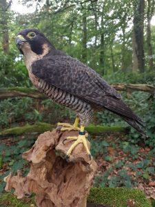 Wanderfalke (Falco peregrinus) - Tierpräparation - Präparat - Taxidermy