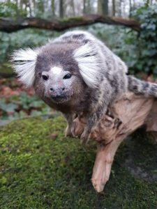 Weißbüschelaffe - Ausgestopft - Tierpräparation - Taxidermy