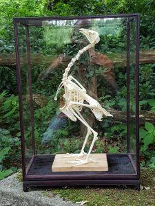 Skelet van een Kip of Huishoen - geprepareerd - opgezet - taxidermy