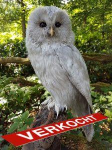 Habichtskauz - Tierpräparation - Präparat - Taxidermy