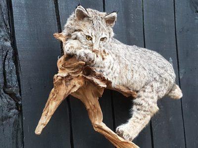 Kanadischen Rotluchs - Ausgestopft - Tierpräparation - Taxidermy