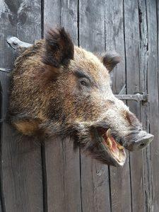 Wildschwein - Ausgestopft - Tierpräparation - Taxidermy