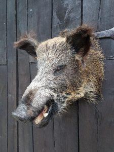 Wild Zwijn Kop - Opgezet - Geprepareerd - Taxidermy