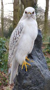 Witte Giervalk - opgezet - geprepareerd - taxidermy