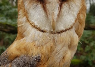 Schleiereule - Tierpräparation - Präparat - Taxidermy