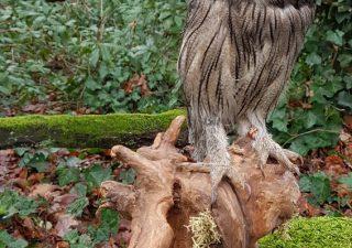 Witwangdwergooruil - opgezet - geprepareerd - taxidermy
