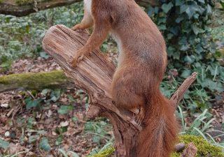 Eurasisches Eichhörnchen - Ausgestopft - Tierpräparation - Taxidermy