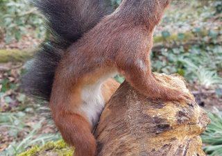 Eekhoorn - opgezet - geprepareerd - taxidermy
