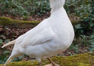 Witte Manderijneend - opgezet - taxidermy - geprepareerdv