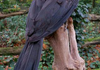 Afrikaanse Blauwkeelneushoornvogel - opgezet - preparaat - taxidermy