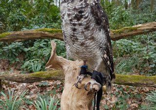 Afrikaanse Oehoe - opgezet - geprepareerd - taxidermy