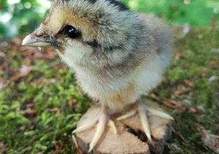 Barnevelder Huhn - Ausgestopft - Tierpräparation - Präparat - Taxidermy
