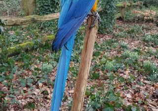 Blauw/Gele Ara - opgezet - geprepareerd - taxidermy