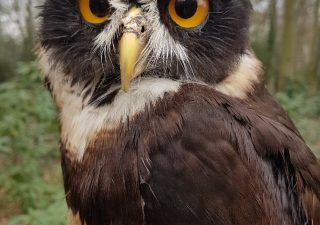 Brillenkauz - Tierpräparation - Präparat - Taxidermy