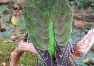 Braun Kopf Papagei - Ausgestopft - Tierpräparation - Präparat - Taxidermy