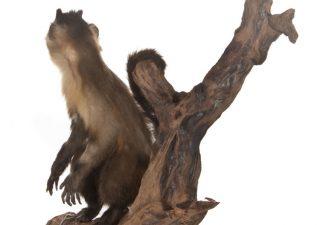 Kapucijnaapje - opgezet - geprepareerd - taxidermy