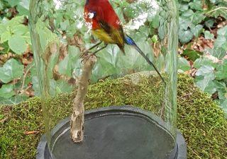 Gould's Sunbird in stolp - opgezet - preparaat - taxidermy