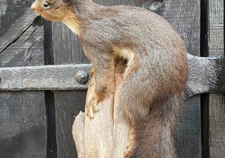 Eekhoorn donker gekleurd - opgezet - geprepareerd - taxidermy