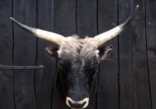 Heckrund Stieren Kop - Opgezet - Geprepareerd - Taxidermy