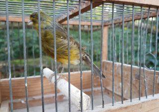 Kanarie in Kooitje - opgezet - geprepareerd - taxidermy