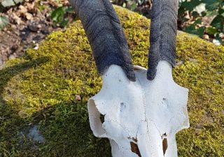 Landgeitschedel - geprepareerd - opgezet - taxidermy