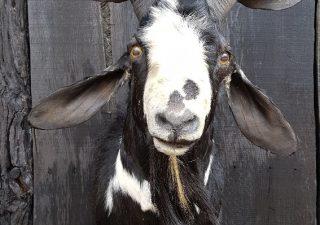 Anglo-nubische Ziegen Bock - Ausgestopft - Tierpräparation - Taxidermy - Präparat