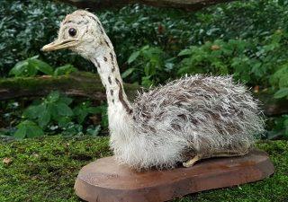 Struisvogel Jong - opgezet - preparaat - taxidermy
