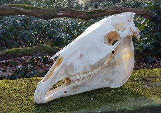 Schedel van een Paard - geprepareerd - opgezet - taxidermy