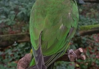 Papegaai Bonte Boertje opgezet - geprepareerd - taxidermy