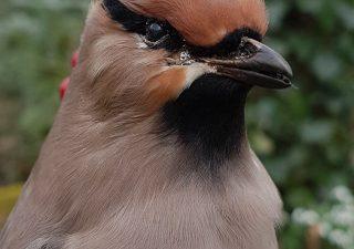 Pestvogel - opgezet - taxidermy - geprepareerd